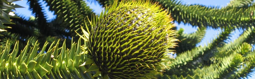 Araucaria, frutto, albero femmina